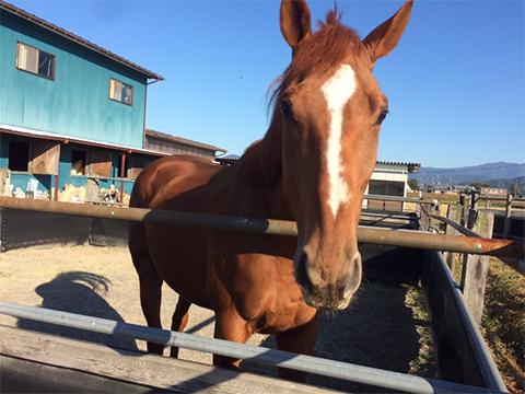 パドックでは馬たちを放牧します。頻繁に放牧を行うことで、過度な運動ができない馬や、気性が荒くてなかなか落ち着きのない馬、なかなか私たちに心を開いてくれない馬などのストレスを軽減することが可能です。